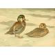 Public Domain Image DVD - Ducks