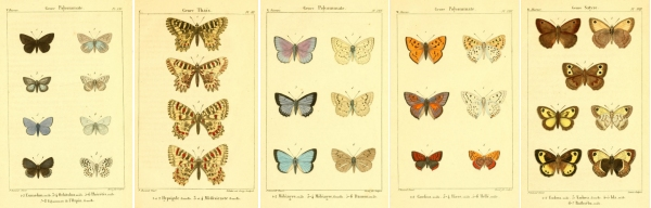 Dumenil Butterflies